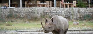 Browse size rhino at waterhole
