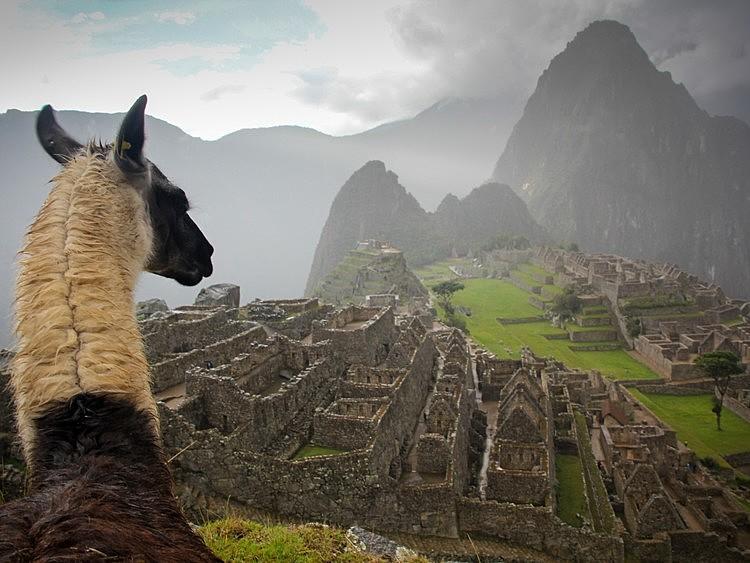 Large picfair 81505921 llama looking over machu picchu  large