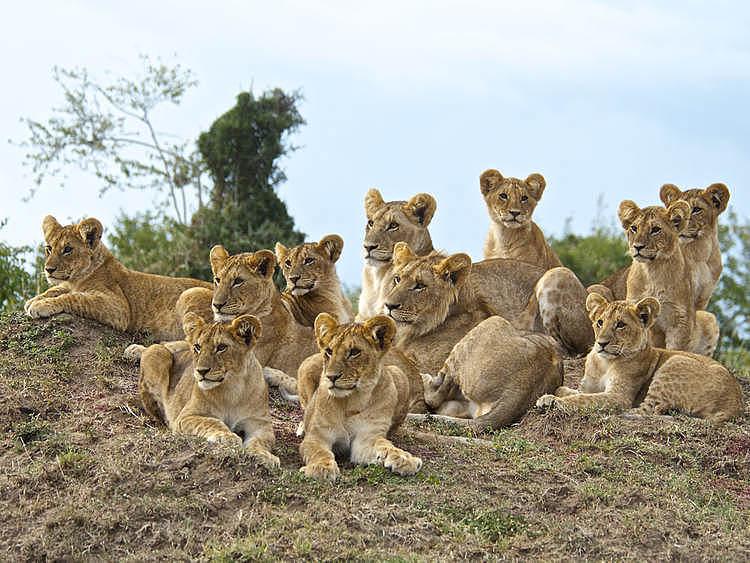Large spekes lion