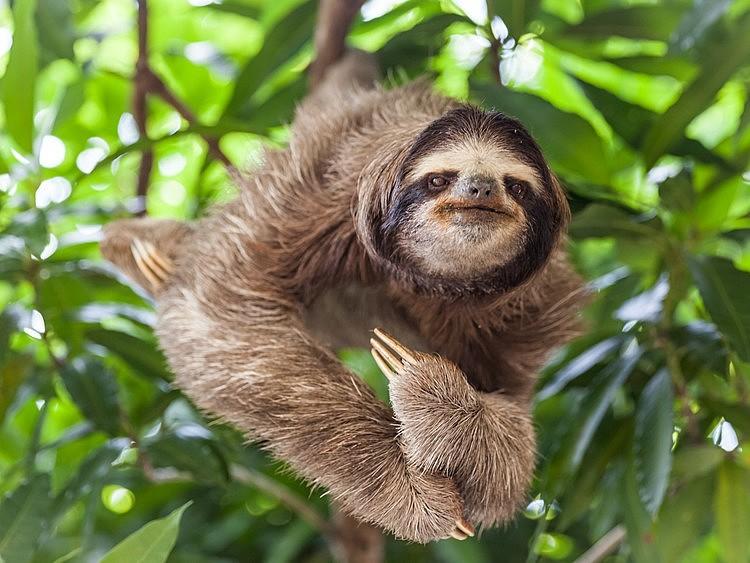 Large sloth compressed